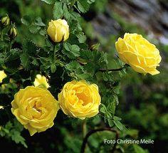 Double Yellow --- R. pimpinellifolia, Strauchrose --- Williams (UK) 1828