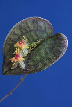 Lepanthes saltatrix - Flickr - Photo Sharing! Miniature Orchids, Ways To Show Love, Wild Orchid, My Secret Garden, All Plants, Amazing Nature, Garden Landscaping, Mother Nature, Habitats