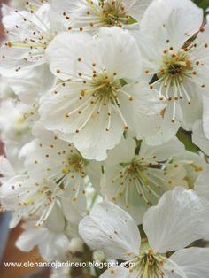 El enanito jardinero: flor del cerezo
