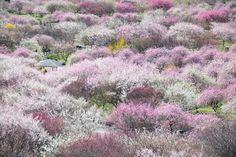 ずっと行ってみたかった場所~ あたり一面の梅の花が、まるで花の海のように...  ~三重県いなべ市農業公園 梅苑~