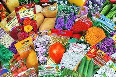 Семена перед посевом обрабатывают против вирусных, а если есть необходимость, то и против бактериальных заболеваний.