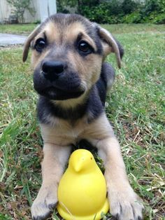 We gather images of adorable puppies from all over the world and share them with you just to make you smile. Puppies to the Rescue! Corgi Beagle, Corgi Dachshund, Mutt Puppies, Labrador Puppies, Animals And Pets, Cute Animals, Baby Animals, Funny Animals, Nature