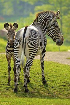 Love zebras...