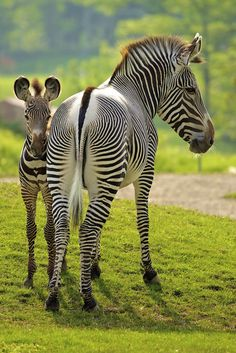 Grévy's zebra: The rarest species of zebra, and is classified as endangered. It is the largest of the Zebra families, and is found in the semi-arid grasslands of Ethiopia and northern Kenya.