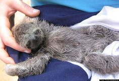 Baby Sloths Are Cute
