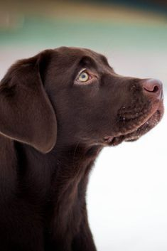 Hottest No Cost Labrador Retriever baby Strategies Would you only allowed a whole new Labrador Retriever directly into your own home? Are you thinking about it? Labrador Retrievers, Labrador Retriever Negro, Schwarzer Labrador Retriever, Golden Retriever, Retriever Puppy, Labrador Golden, Brown Labrador, Chocolate Lab Puppies, Chocolate Labs