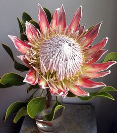 Protea cynaroides, the king protea, is a flowering plant. It is a distinctive member of Protea, having the largest flower head in the genus. The species is also known as giant protea, honeypot or king sugar bush.