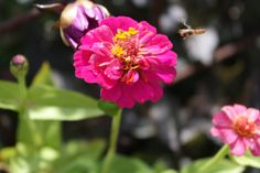 HAVEHJERNEN: august 2013 Zinnia