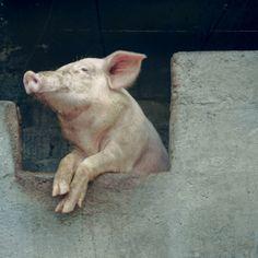 Piglet.  pensive piglet.