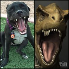Rawr!!! This is my T-Rex face! This is my entry for #lookalike2kgiveaway hosted by some of the greatest Aussies around @alfieminiaussie @rikutheaussie @arya_the_aussie @aussie.atlas @stitchaussie   #aryathepitbull #dogsofinstagram #dogstagram #pitbulladvocate #pitbulllove #pittielove #pitbullsofinstagram #pitbull #pibble #pitbullinstagram #notabully #thepitproject #dontbullymybreed #whogivesapit #bullbreedsofinsta #dogsofig #instapit #instadog #azdogs #dailydogg_features #pawsomepitbulls…