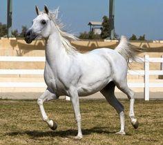 cuteanimalsworld: The Arabian or Arab horse