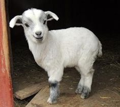Fainting Goat Farm: See how one family started with a pet goat for their daughter, and expanded to 30 year-round fainting goats with kids born in the spring and fall. | Living the Country Life | http://www.livingthecountrylife.com/animals/livestock/fainting-goats/