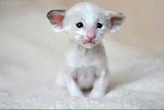 25 Things You Didn't Know About The Oriental Shorthair - meowlogy Pretty Cats, Beautiful Cats, Animals Beautiful, Sphynx, Cute Kittens, Cats And Kittens, Siamese Kittens, I Love Cats, Crazy Cats