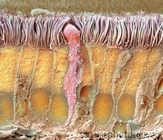 Trachea lining. Don't know why I feel compelled to pin this?..