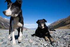 Working dogs take a break on the riverbank at Glen Lyon Station, Lake Ohau, South Canterbury, New Zealand. - Box of Light Glen Lyon, New Zealand Beach, Photo Report, Stunning Photography, Canterbury, Working Dogs, Surfing, Creatures, Adventure