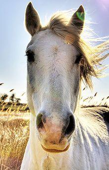 Camargue (horse) - Wikipedia