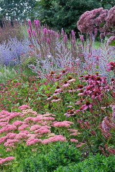 Sedum 'Autumn joy', Echinacea purpurea 'Rubinstern', Persicaria amplexicaulis 'Firetail', Lythrum salicaria Firecandle, Perovskia 'Blue Spire' y Eupatorium purpureaum Back Gardens, Outdoor Gardens, Garden Borders, Garden Cottage, Sage Garden, Purple Garden, Cozy Cottage, Flower Beds, Small Gardens