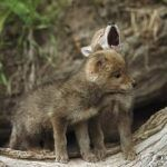 """Seems the million dollar question when it comes to calling coyotes is """"When is the Best time to Call Coyotes?"""" And the answer everyone has heard a million times over is """"anytime you can"""". Although that may be the case for most coyote hunting addicts, there are certain times that are better than others for …"""