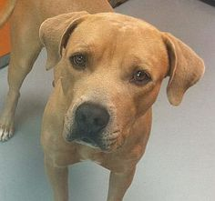 SKRILEX-ID#A729242  My name is SKRILEX.  I am a male, fawn Pit Bull Terrier mix.  The shelter staff think I am about 1 year old.  I have been at the shelter since Jul 20, 2013.