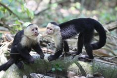 You want some of my stick Sissy?    Capuchins