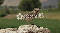 Stock video footage Detailed HD clip of a Burrowing Owl (Athene cunicularia ) on his rocky dirt mound, perch in the wilderness. Burrowing Owl, Stock Video, Stock Footage, Habitats, Wilderness, Close Up, Places To Visit, Nature, Animals