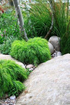 Acacia cognata Limelight - 1m dwarf form