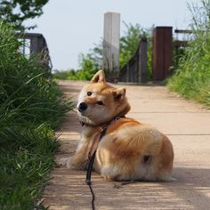 Pinを追加しました!/ちょっとここでひと休みしましょう #お昼寝も良いかも #shiba #dog #komugi #柴犬 #日本犬 #赤柴 #shibainu #しばわんこ #柴犬大好き #わんこ #狗 #doge #shibe #shibastagram