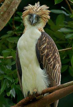 peregrineinastoop: Philippine Eagle by Neon Tomas Buenaflor Rosell II