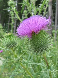 Bull thistle (Cirsium vulgare) • Family: Aster (Asteraceae) • Habitat: dry fields, roadsides and waste places • Height: 3-6 feet • Flower size: flowerheads 1-1/2 to 2-1/2 inches across • Flower color: pink to magenta • Flowering time: June to October • Photo by Doug Colter
