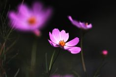 Cosmos.  I've taken and developed so that the dark background.