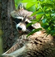 Get rid of raccoons  A few tablespoons of Epsom salt spread around your garbage cans will deter the raccoons, who don't like the taste of the stuff.