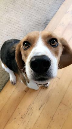 Are you interested in a Beagle? Well, the Beagle is one of the few popular dogs that will adapt much faster to any home. Child Friendly Dogs, Friendly Dog Breeds, Best Dogs For Families, Family Dogs, Cute Beagles, Cute Dogs, Calm Dog Breeds, Dog Friends, Best Friends