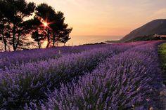 sunrise over #lavender -- #Conero  ||  #Italy