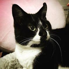 おめめくりくり #白黒猫 #はちわれ #cat #ねこ #猫