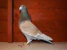 Pigeon Breeds, Homing Pigeons, Racing, Birds, Animals, Pigeon, Animales, Animaux, Auto Racing