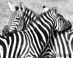 Zebra Hug Zebra Photography Black and White by BelleLuneArts