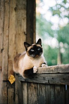 Siamese - the cat we had moved in with us around our second anniversary. He was more like a blue point. He and the cat we already had, Sandy, became BFFs. Our Siamese cat was named Schmizlfratz, Schmizl for short. I think we had him 13 years. Pretty Cats, Beautiful Cats, Animals Beautiful, Cute Animals, Pretty Kitty, I Love Cats, Crazy Cats, Cute Cats, Siamese Cats