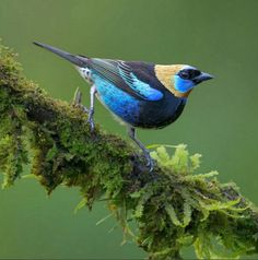 Golden-hooded tanager (Tangara larvata). This colorful, medium-sized songbird is a resident breeder from southern Mexico south to western Ecuador.