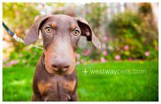Red Doberman Puppy // Tango © Westway Studio