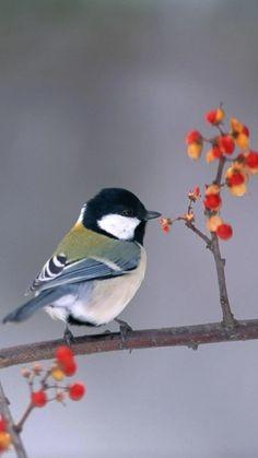 Chickadee photo