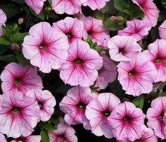 Seguimos con las mejores flores para cultivar en maceta a pleno sol, es fácil encontrar candidatas para nuestra terraza o balcón por soleados que sean. Las flores, por lo general, aman el sol y es …