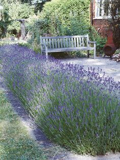 I want to plant a lavender hedge this year.