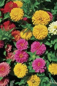 What Is the Length of Time From Seed to Full Flower for Zinnias?   eHow.com