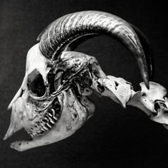 skull, animal skull horns