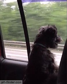 Road Trip Dog Tries to Catch Passing Cars | Gif Finder – Find and Share funny animated gifs