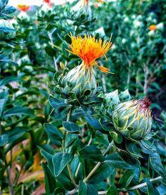 Cártamo | flor | cardo Cabbage, Vegetables, Plants, Photography, Instagram, Flower, Photograph, Photography Business, Veggie Food