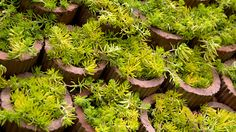 CHELSEA FLOWER SHOW 2013. Sedum Gold Carpet - a dwarf succulent, great for dry areas, covered in starry golden flowers in spring and summer. Photography by RHS