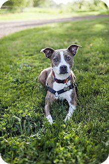 Australian Shepherd Red Heeler Mix Picture Dogs