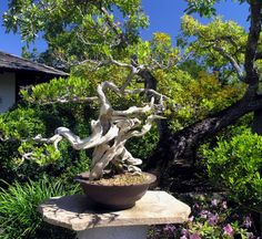 Picture of a bonsai tree in a nice garden. Added a little bit of color saturation.