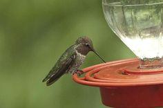 10 Tips for Attracting Hummingbirds ~ http://www.birdsandblooms.com/blog/10-tips-attracting-hummingbirds/?utm_content=bufferc417f&utm_medium=social&utm_source=facebook.com&utm_campaign=buffer